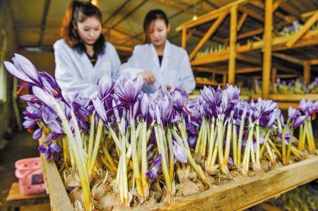 中国藏红花最大产地在哪里?