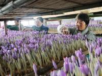 中国藏红花最大产地在