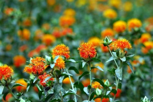 红花是什么?详解中药材红花