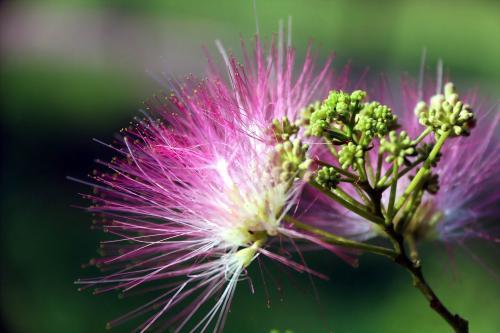 合欢花是什么?详解中药材合欢花