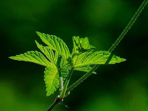 什么是葎草?详解中药材葎草