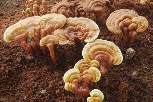 灵芝孢子粉是如何形成和收集的