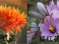 藏红花和草红花的区别