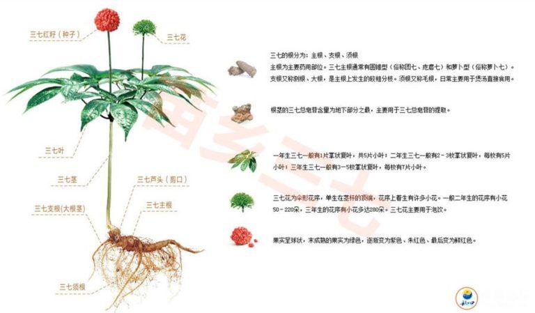 三七植物的划分及分类