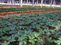 三七种植对温度光照的要求