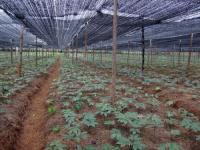 三七种植技术与栽培管理