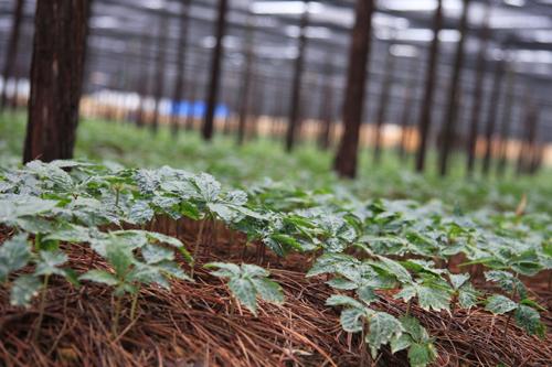 三七种植成本:种三七一亩需要多少钱?